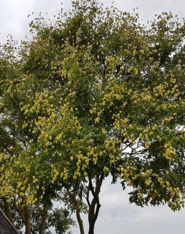 Hummelo Oudolf ornamental ash