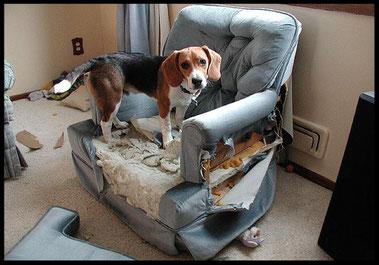 comportement du chien destructeur