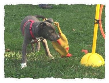Chiot Américan Staffordshire Terrier à l'école pour chiots à Dax