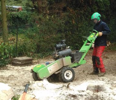 Sieht größer aus als sie ist - Mit der Fräsmaschine können wir auch nach einer Baumfällung im Privatgarten effektiv arbeiten. (Hier beim Einsatz in Köln)