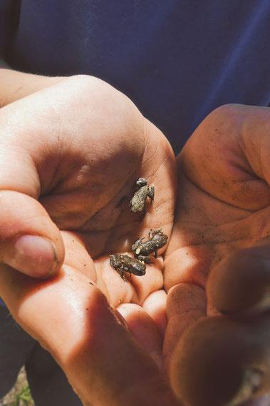 grenouilles balkans lac grece bigousteppes