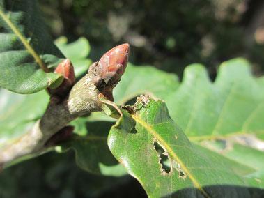オークの頭頂芽 葉が落ちる前に準備が整う
