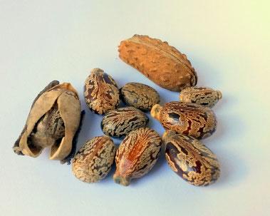 Aus diesen Samen wird das Wundermittel hergestellt - Kastorsamen
