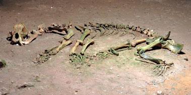 Vollständig erhaltenes Skelett des Höhlenbären
