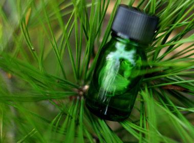 天橋立 松 美しい緑の松葉 アロマオイル