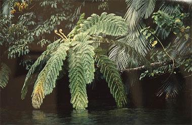 眩緑 (沖縄西表島)