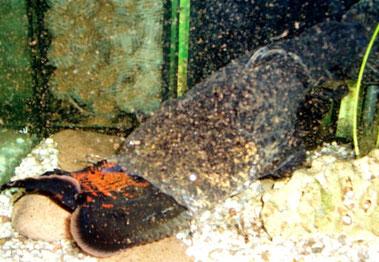 Cephalosilurus spec. und Astronotus ocellatus