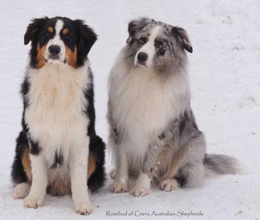 Aussie Mischka black tri und Teddy blue merle bi