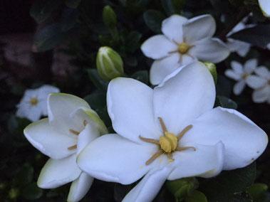 ご近所のクチナシの花が満開でいい香りを放っていました♪