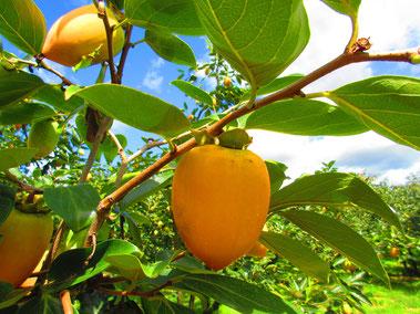 きよた柿 Japanese Persimmon