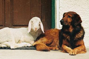 Hund und Lamm am Sturm-Archehof in Heiligenblut