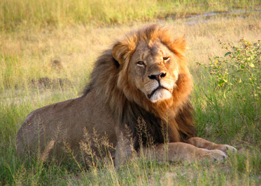 Ein Grosswildjäger tötete den Löwen Cecil. Bild: Wikimedia Commons