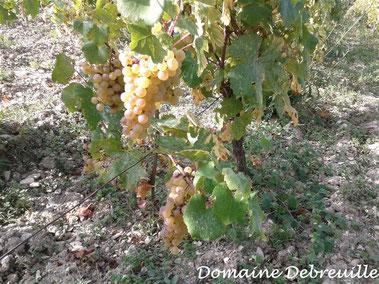 domaine debreuille, tournus, plottes, royer, macon, chalon sur saone, mancey, lugny, vin, vigne, fut, press cask, pressoir,  tonneau, bouteilles, proprietaire recoltant, wine, bourgogne, grape, cepage, aligote, chardonnay, pinot, gamay,