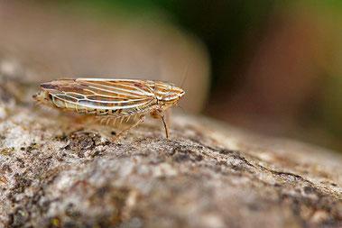 Mocydia crocea - ebenfalls eine Zwergzikade