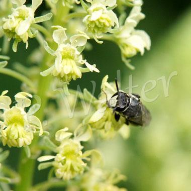 Bild: Maskenbiene, Hylaeus ..., Gelbe Resede