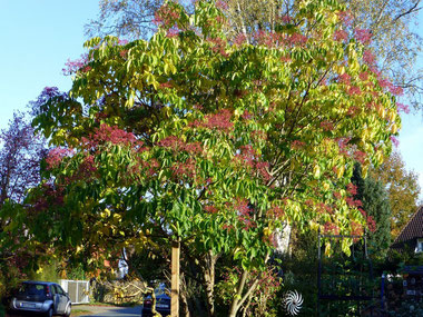 Bienenbaum Tetradium daniellii