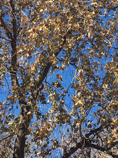 Leaves that had not yet fallen off our Chinese Tallow tree froze overnight