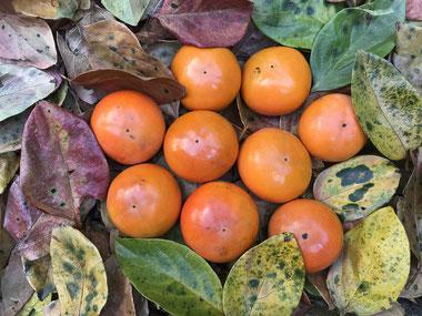 癒しの和エステ「心美」の柿、お客様にお裾分けします!