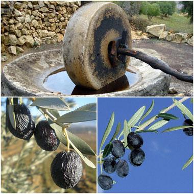Ancien moulin  . et olives de Nyons :la tanche
