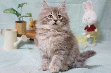 ノルウェージャンフォレスト 子猫