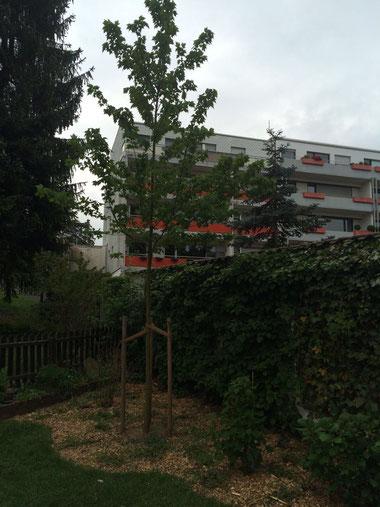 Eine schöne Baumpflanzung in Bonn nach erfolgreicher Baumfällung