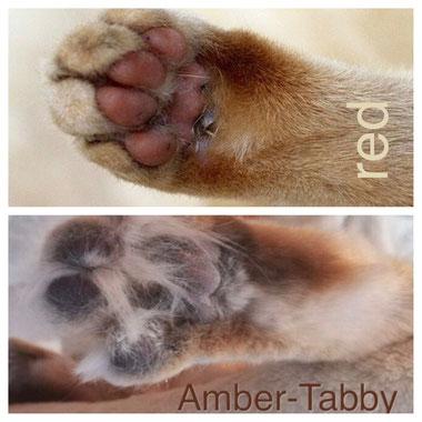 Vergleich: red vs amber-tabby, Foto unten: amberkatzen.de