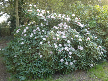 Rhododendron 'Christmas Cheer' le 30 mars 2021