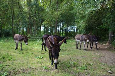 Les ânes de Balaam vous attendent à l'ombre des peupliers, près du pont Romain, à quelques encablures de Tours en Touraine Val de Loire.