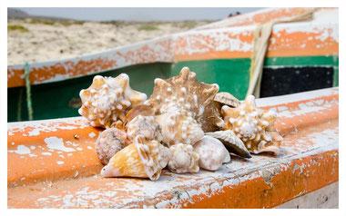 Muscheln finden auf Boa Vista auf der Farol und Muscheln Tour mit Boa Vista Tours