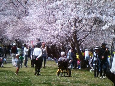 満開桜と足こぎ車椅子