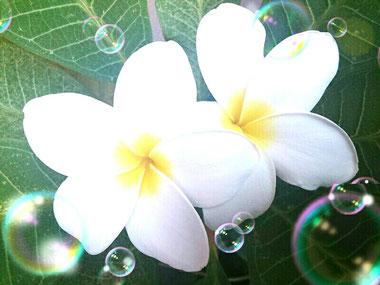 幸せを呼ぶ花 バリのお花 フランジパニ 自分を愛して 自分力を高める