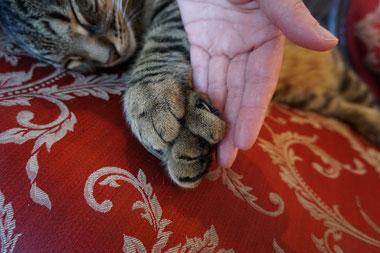 Polydaktylie wird die Genmutation genannt, bei der Katzen zu viele Zehen haben