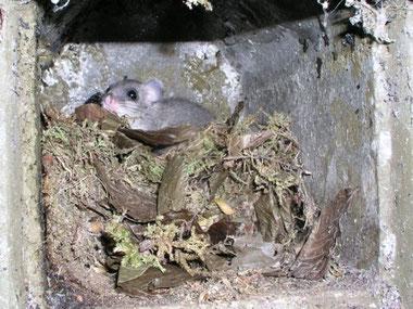 Siebenschläfer in einem Meisennest im Nistkasten