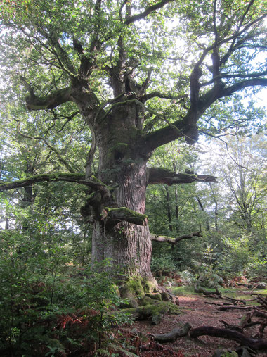 Giant oak tree, Urwald Sababurg, Reinhardswald