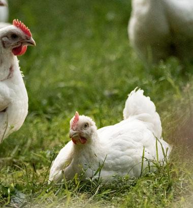 Hähnchen auf Stroh, Freiland, Hähnchen, Freilandhähnchen, Hofladen, Hofladen, Holweg, Hof Holweg, Coppenbrügge, Hameln-Pyrmont, Hameln, Hühnermobil, regional, Bauernhof