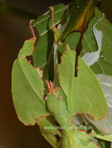 """""""Wandelndes Blatt"""" (Phyllium giganteum)"""
