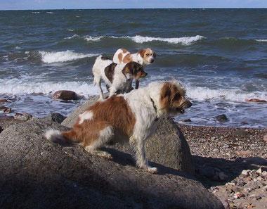 Kromfohrländer am Strand