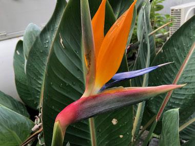 なんにもしてないけど毎年花が咲いてくれます。BIRD OF PARADISE