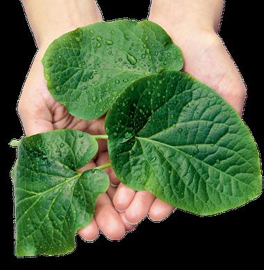 Zwei Hände halten einige Blätter der Kava-Kava-Pflanze