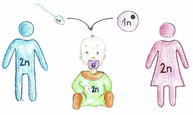 Abb. 1: Elterliche haploide Keimzellen ergeben diploiden Chromosomensatz beim Nachwuchs