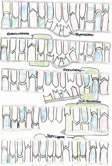 Abb. 3: DNA-Reparatur