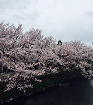 袋井用水水源地付近桜画像