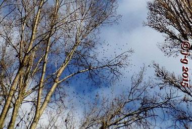 """Ein Schwarm Kiebitze bestehend aus mehreren Hundert Vögeln - Rast im NSG """"Biedensand""""."""