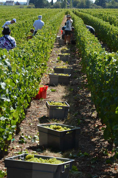 Harvest of Chardonnay grapes to make Crémant de Loire