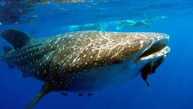 Squalo balena ad ovest di dell'isola di Mafia