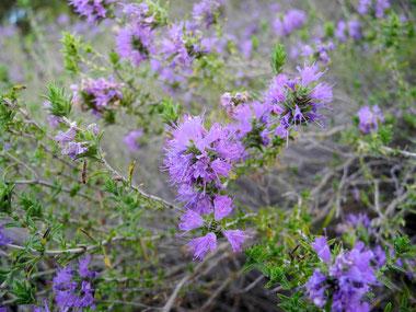 Blühende Thymianpflanze