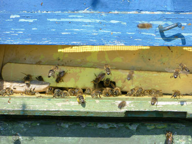 Die Bienen drängen sich durch das noch enge Flugloch. Wird es nochmal kalt oder gar windig, schützt es vor Auskühlung.