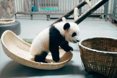 Photo libre de droits avec un panda
