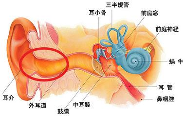 耳の断面図