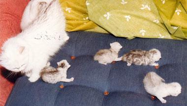 Shaded Silver Wurf, Perser, 4 Wochen alt